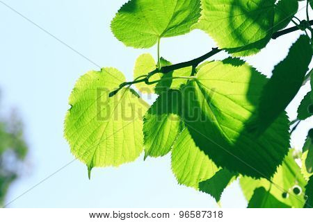 Green leaves of tree branch, closeup