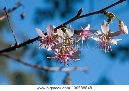 Prunus Cerasoides, Himalayan Cherry