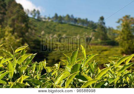 Green Tea Leaves On Tea Plantation Valley Background