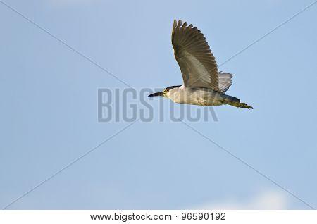 Black-crowned Night-heron Flying In A Blue Sky