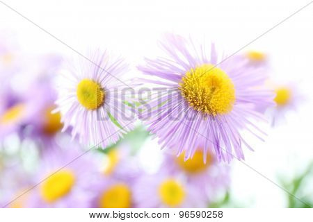 Beautiful wild asters close up