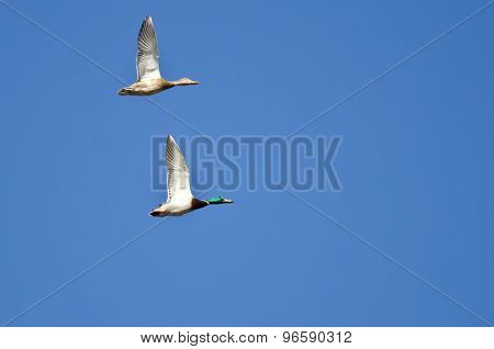 Pair Of Mallard Ducks Flying In A Blue Sky