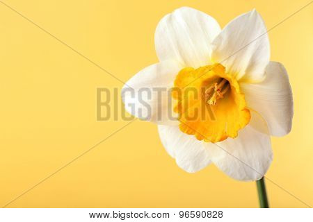 Fresh narcissus flower on color background