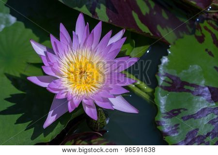 Purple waterlily with green leaves