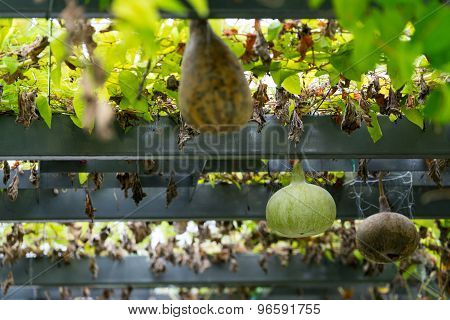 Gourds in the garden