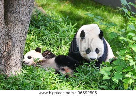 Mother panda and her boy plays in jungle