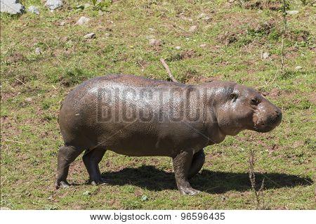 Pygmy Hippopotamus (choeropsis Liberiensis)