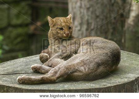 jaguarundi -  ( Puma yagouaroundi ) resting on the stump