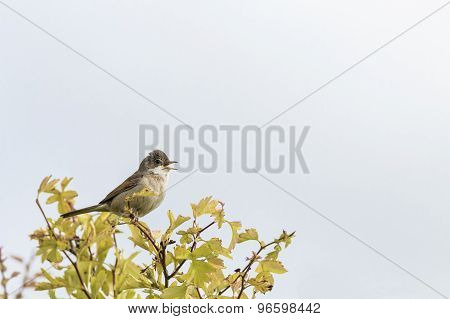Whitethroat (sylvia Communis)