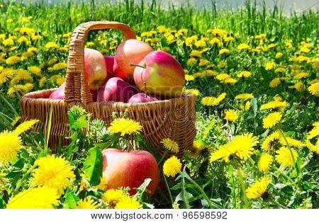 basket of apples in dandelions
