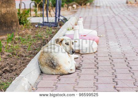 street dog lying