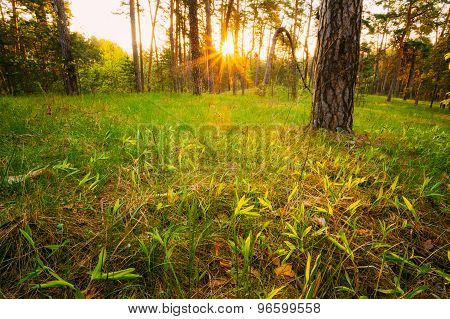 Sunbeams Pour Through Trees In Summer Spring Forest At Sunset. R