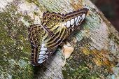 image of clippers  - Close up of Clipper (Parthenos sylvia) butterfly feeding on tree trunk in nature, dorsal view ** Note: Shallow depth of field - JPG