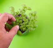 stock photo of basil leaves  - White male hand and fingers picking young basil leaves from a plant on a green background - JPG
