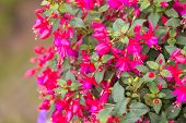 picture of salvia  - Flowers of fuchsia or Onagraceae Salvia Splendens Scarlet Sage. ** Note: Visible grain at 100%, best at smaller sizes - JPG