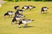 image of dry grass  - Barnacle goose  - JPG
