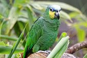 picture of stare  - A macaw parrot staring into the distance - JPG