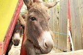 image of headstrong  - donkey in a fence of the farm - JPG