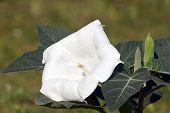 pic of datura  - White Brugmansia  - JPG