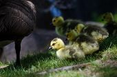 picture of mother goose  - An Adorable Newborn Goslings Staying Close to Mom - JPG