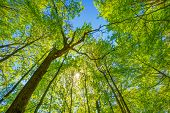 picture of canopy  - Spring Sun Shining Through Canopy Of Tall Trees - JPG