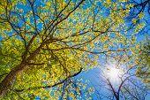 foto of canopy  - Spring Summer Sun Shining Through Canopy Of Tall Trees - JPG