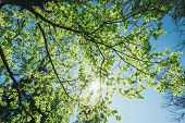 picture of canopy  - Spring Summer Sun Shining Through Canopy Of Tall Trees - JPG