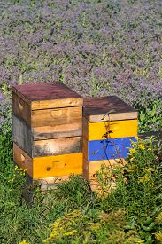stock photo of borage  - Commercial beehives used to pollinate a field of borage - JPG