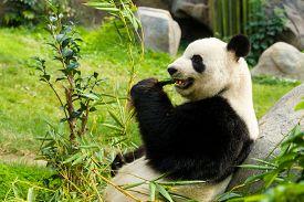 picture of panda  - Panda eating bamboo - JPG