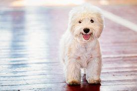 pic of westie  - White West Highland White Terrier Westie - JPG