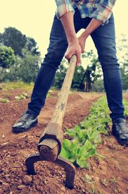 pic of husbandry  - a young urbanite man digging in a garden of lettuce - JPG