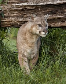 picture of cougar  - Cougar creeping out from under a log that conceals his hiding place - JPG