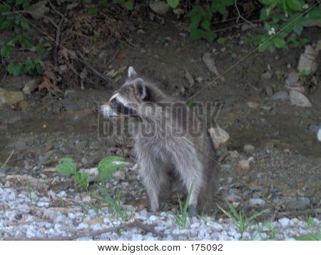 Posing Raccoon