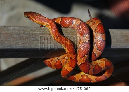 Corn Snake Exploring