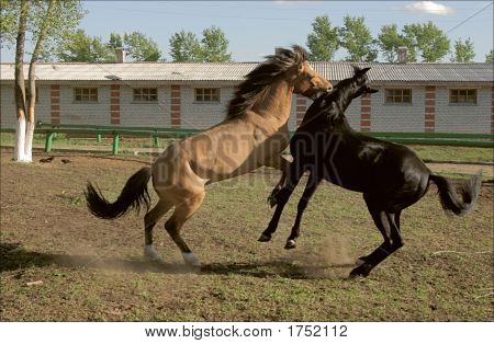Two Young Horses Playing