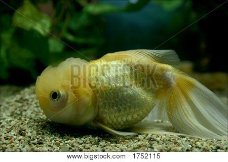 Yellow Chinese Fish