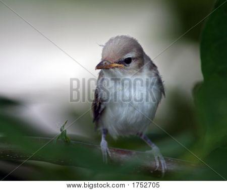 Warbling Vireo Chick