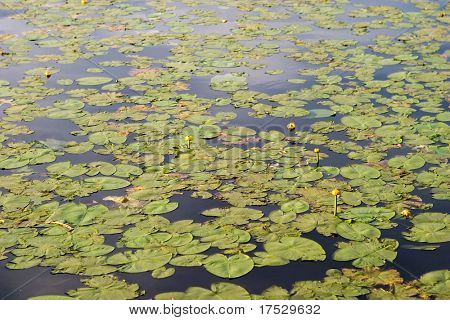 A lily pad background of green lilly pads and a few yellow flowers.