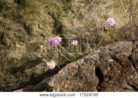 Bright pink Thrift flower - Sea Pink Armeria maritima