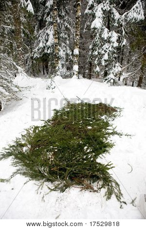 Spruce branches placed over snow to protect a tent.
