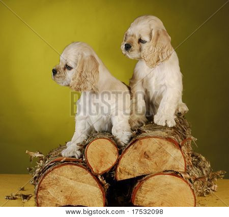 two cocker spaniel puppies climbing a pile of wood on yellow background