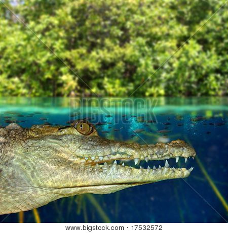 Crocodile cayman swimming in mangrove swamp up down waterline