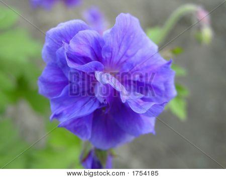 Himalayan Geranium Flowers