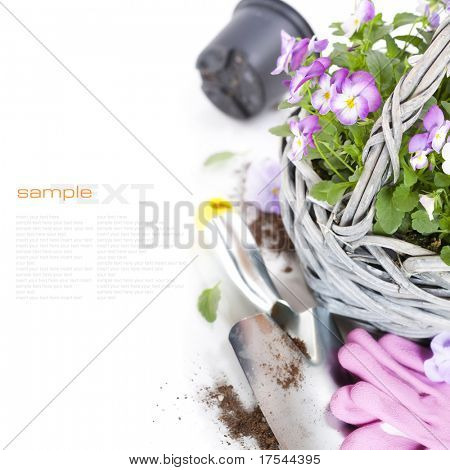 fresh viola flowers in a basket, gardening gloves and shovel over white with sample text