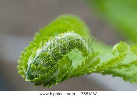Curled leaf of green fern