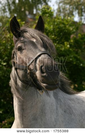 Attentive Draught Horse
