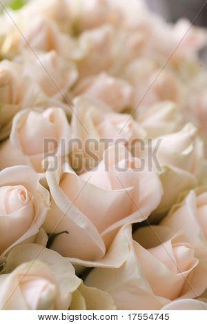 Beautiful pale roses macro shot