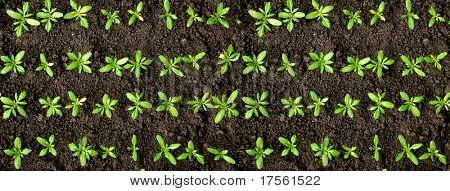 Rows of green crops on soil