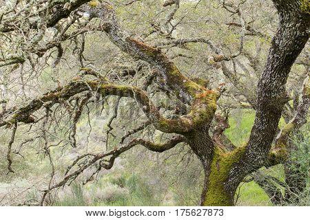 Oak Tree Covered