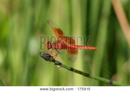 Red Dragonfly Profile